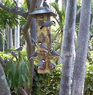 Birds at feeder in Hawaii, Photo by Myrna Martin